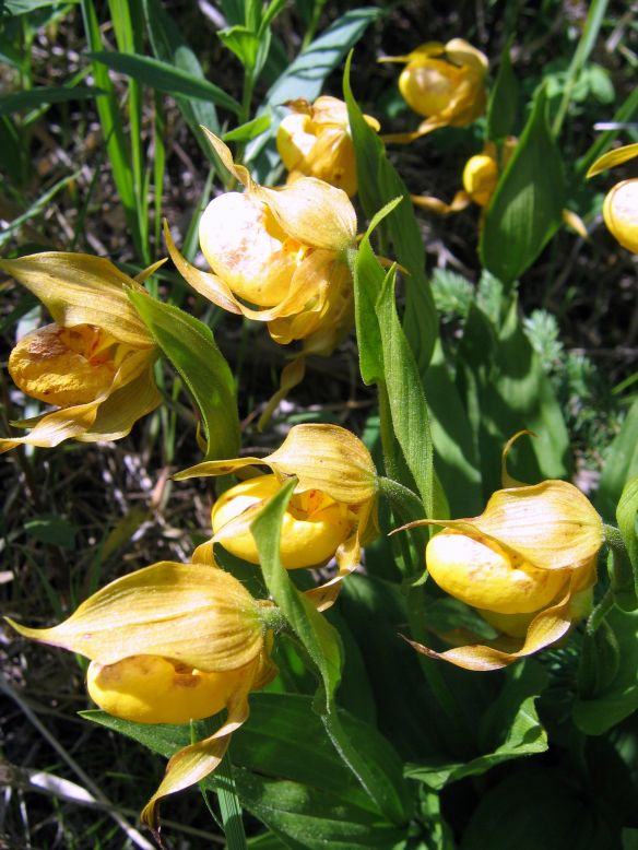 Group of Lady Slippers 2