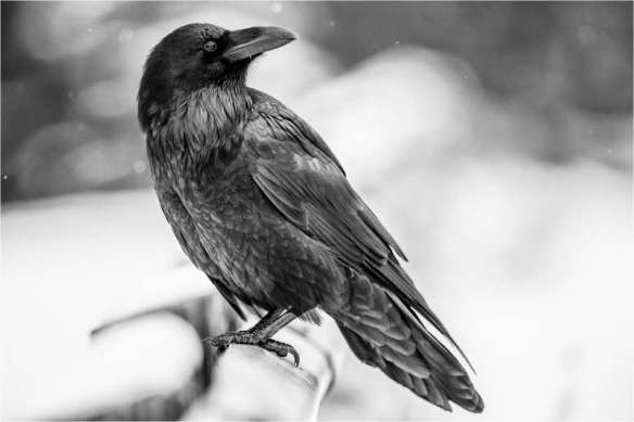 Common Raven: Photo Credit Christopher Martin Jasper Fall Wildlife Workshop