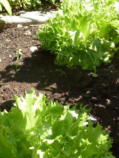 Yummers!  Lettuce