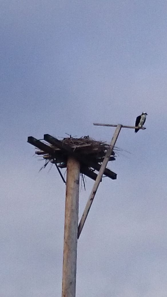 Cell May 1, 2015 Birds Osprey Franks 008