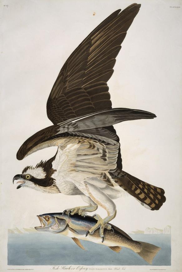 Osprey by Audubon: Toronto Public Library