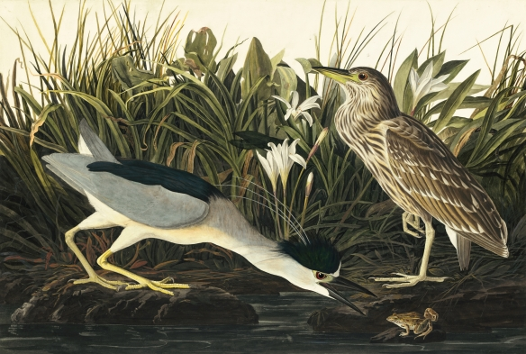 Audubon: Black Crowned Night Heron
