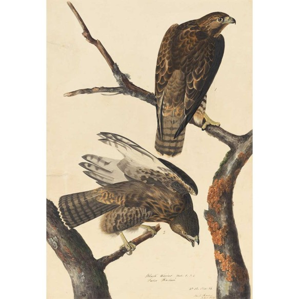Audubon: Harlan's Red-Tailed Hawk