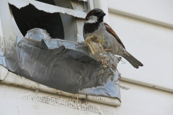 Kath's Canon Male Sparrow Emptying Nest July 7 2015 004