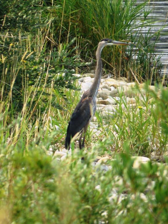Kath's Canon August 26, 2015 Heron Dying Bird 080