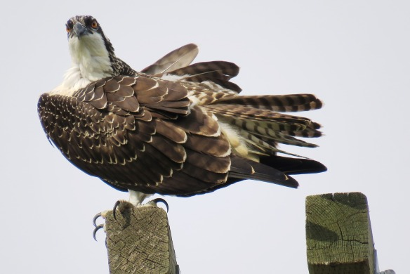 Kath's Canon August 29, 2015 Osprey, Hawk, Kingfisher 040