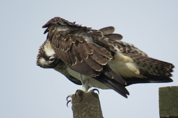 Kath's Canon August 29, 2015 Osprey, Hawk, Kingfisher 044