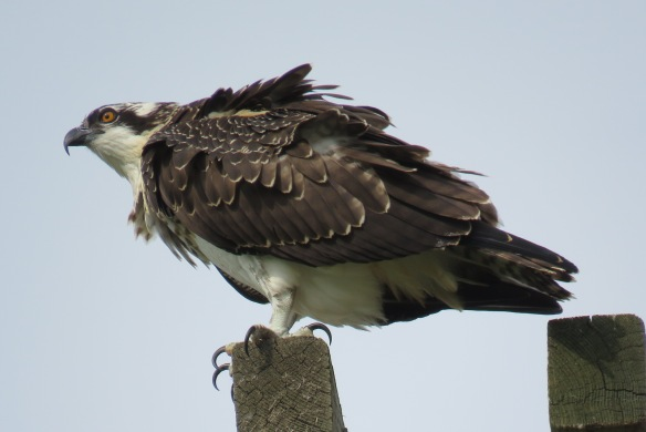 Kath's Canon August 29, 2015 Osprey, Hawk, Kingfisher 046