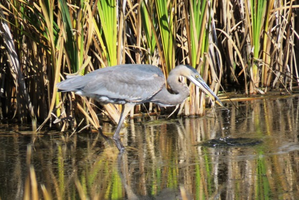 Kath's Canon, September 22, 2015 early aft Frank's Flats Heron 030