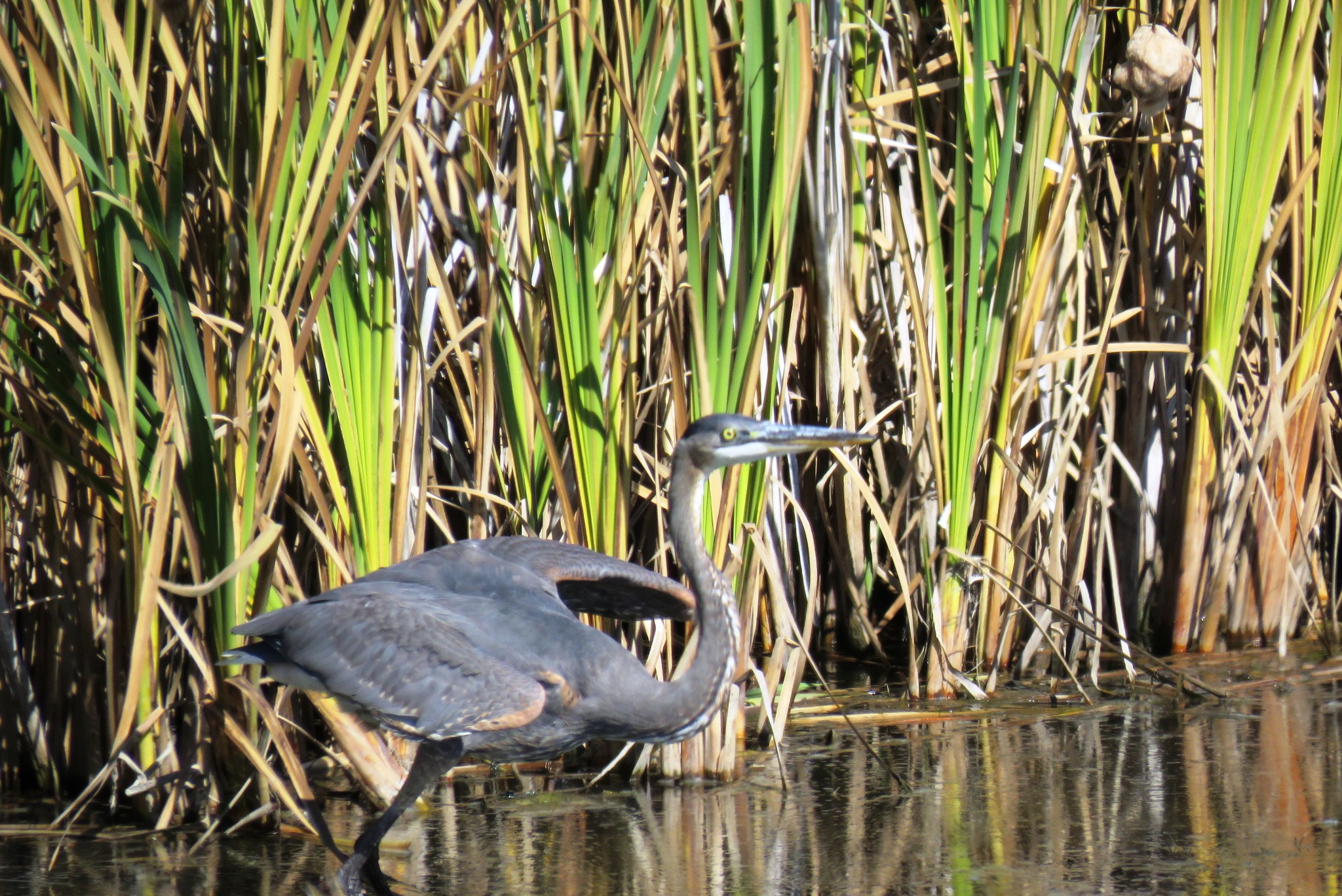 Kath's Canon, September 22, 2015 early aft Frank's Flats Heron 038