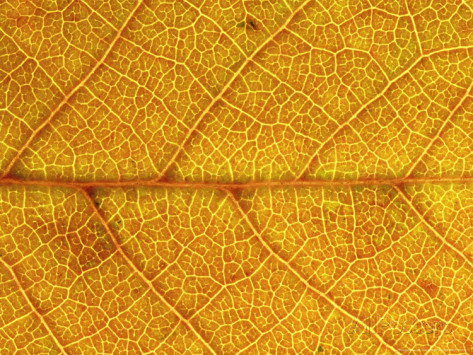 mark-hamblin-close-up-of-leaf-showing-vein-structure-and-autumn-colour-scotland