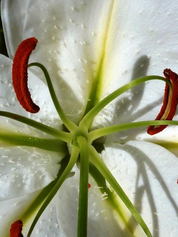 Lilies 020