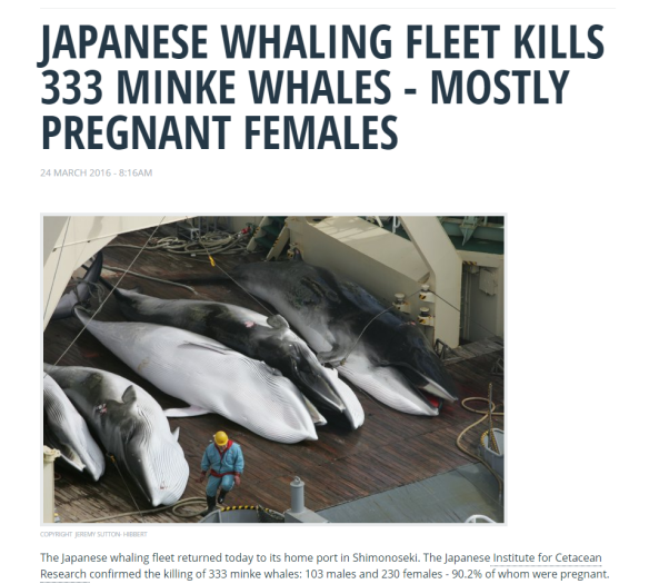 Minke Whales