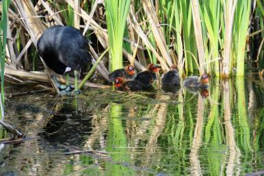 Facebook 10 Coot and youngsters