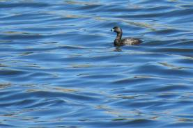 Facebook 11 Pied-billed Grebe