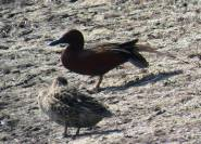Facebook 19 Mr. and Mrs. Cinnamon Teal
