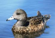 Facebook 22 Female Blue-winged Teal