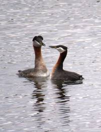 Facebook 23 Red Necked Grebes Romancing