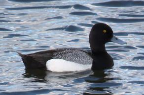 Facebook 25 Lesser Scaup