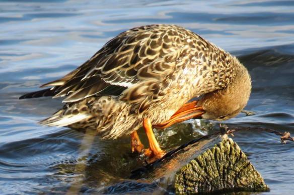 Facebook 27 Female Northern Shoveler