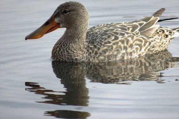 Facebook 29 Female Northern Shoveler