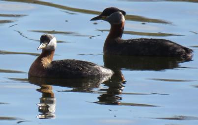 Facebook 32 Red Necked Grebes
