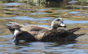 Facebook 37 American Wigeon couple