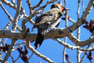 Facebook 47 Northern Flicker