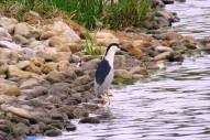 Facebook 7 Black Capped Night Heron