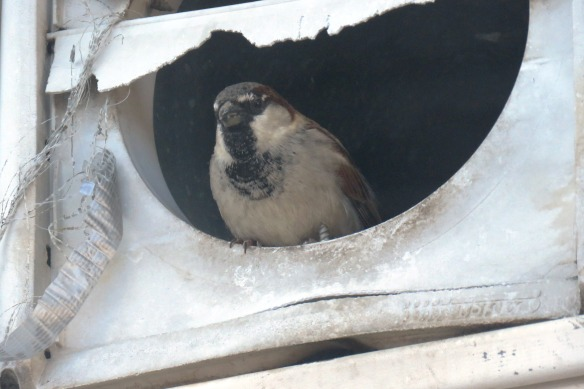 Kath's Canon, February 8 2016 Franks and Sparrows 019