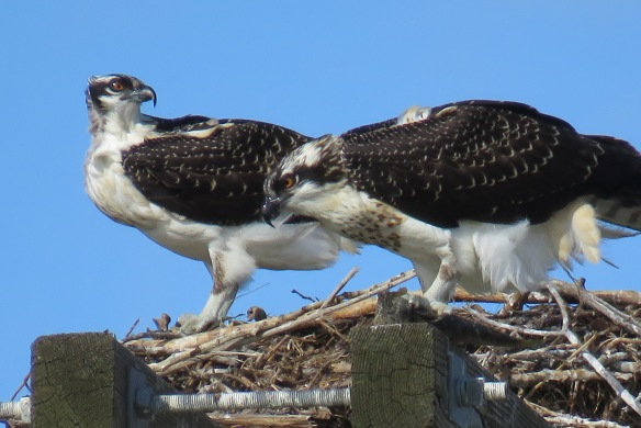 Kath's Canon September 2, 2015 Osprey, Franks, Stinky Max 005