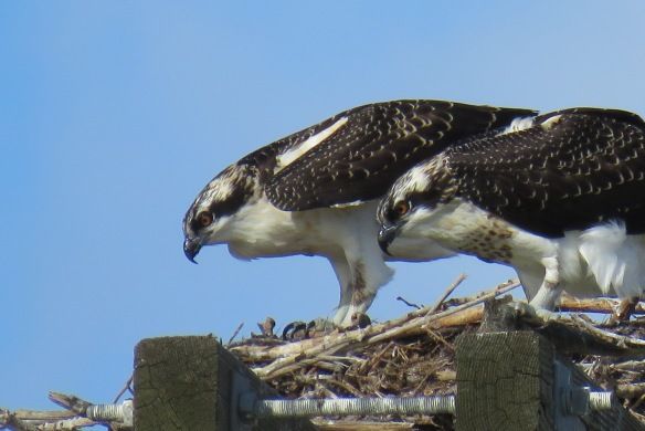 Kath's Canon September 2, 2015 Osprey, Franks, Stinky Max 025