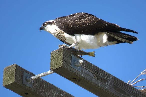 Kath's Canon September 2, 2015 Osprey, Franks, Stinky Max 061